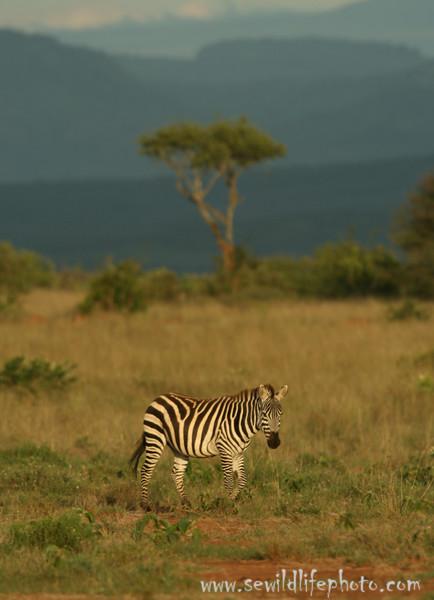 Plains zebra (Equus quagga), Mpala Research Center, Laikipia district, Kenya