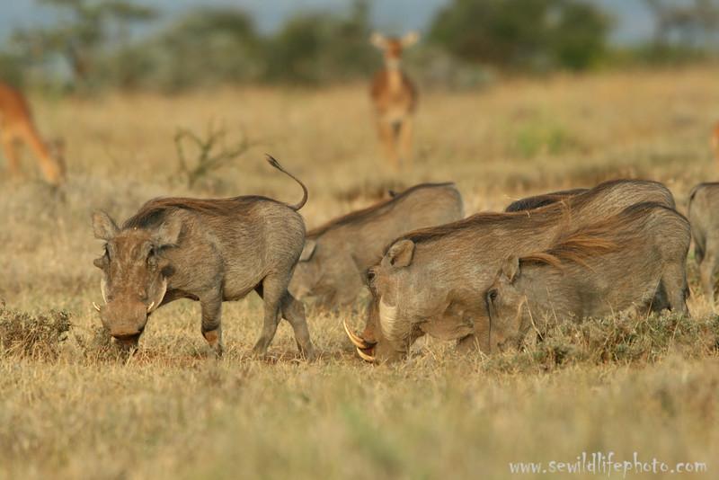 Warthog family (Phacochoerus africanus), Mpala Research Center, Laikipia district, Kenya