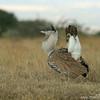 Kori bustard (Ardeotis kori) courtship display, Mpala Research Center, Laikipia district, Kenya