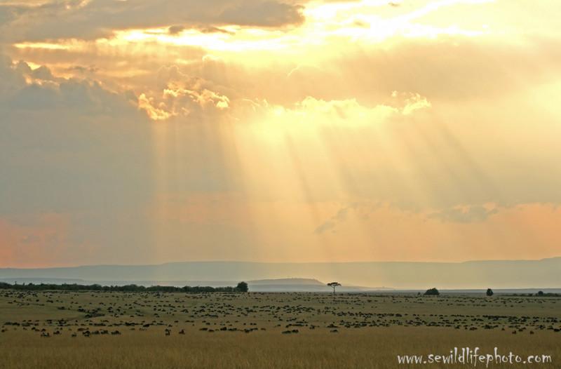 Serengeti-Masai Mara wildebeest migration (Connochaetes taurinus), Masai Mara Game Reserve, Kenya