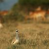 White bellied bustard (Eupodotis senegalensis), Mpala Research Center, Laikipia district, Kenya