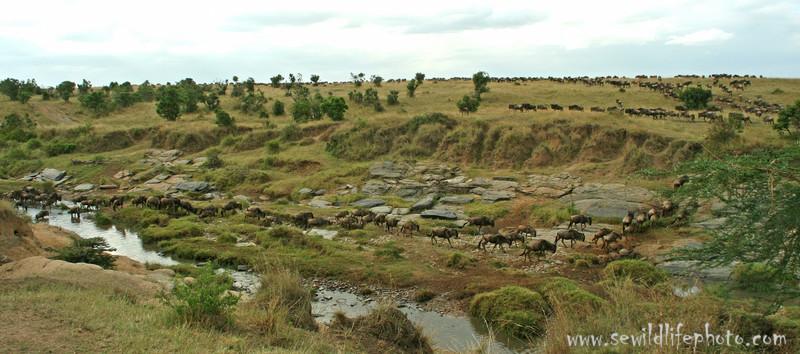 Wildebeest migration (Connochaetes taurinus) crossing river, Masai Mara Game Reserve, Kenya