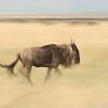 Running wildebeest (Connochaetes taurinus), Masai Mara Game Reserve, Kenya