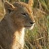 Lion cub (Panthera leo), Masai Mara Game Reserve, Kenya