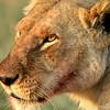 Lioness (Panthera leo), Masai Mara Game Reserve, Kenya