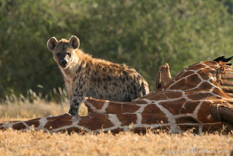 Spotted hyena (Crocuta crocuta) on giraffe carcass, Mpala Research Center, Laikipia district, Kenya