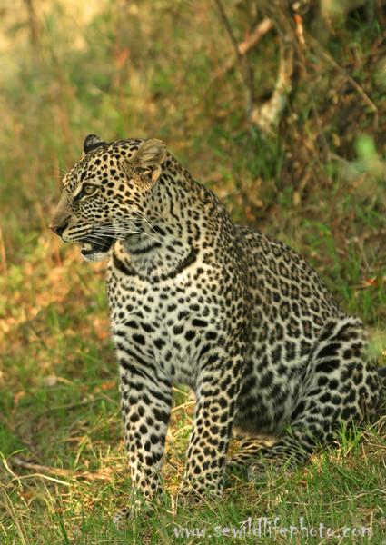 Leopard (Panthera pardus), Masai Mara Game Reserve, Kenya