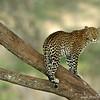 Leopard (Panthera pardus), Loisaba Wilderness, Laikipia district, Kenya