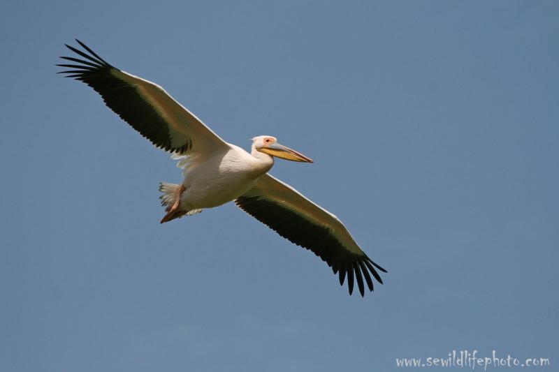 Great white pelican (Pelecanus onocrotalus), Lake Nakuru National Park, Kenya