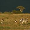 Plains zebra (Equus quagga) and Grant's gazelle (Nanger granti) with incoming storm, Mpala Research Center, Laikipia district, Kenya