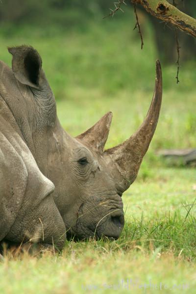 White rhinocerus (Ceratotherium simum), Lake Nakuru National Park, Kenya