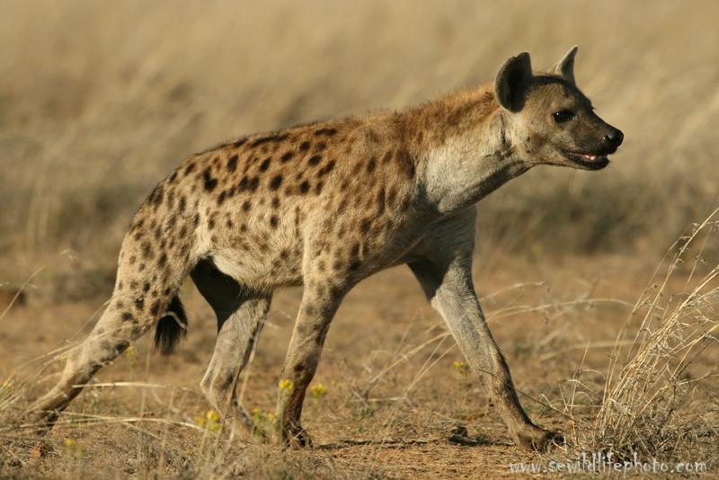 Spotted hyena (Crocuta crocuta), Loisaba Wilderness, Laikipia district, Kenya