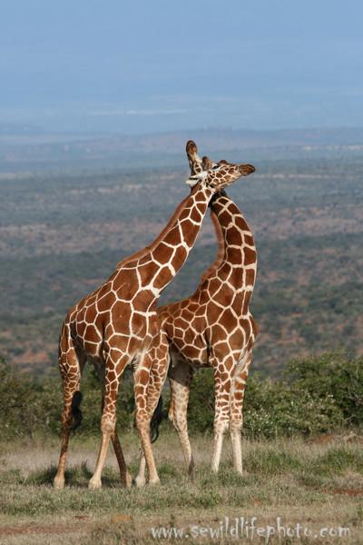 Reticulated giraffes (Giraffa camelopardalis reticulata) neck-fighting, Mpala Research Center, Laikipia district, Kenya