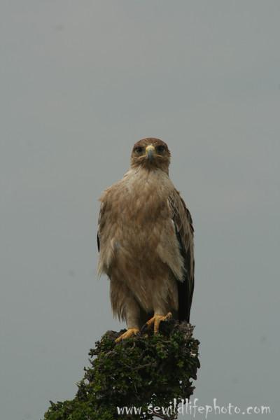 Tawny eagle (Aquila rapax), Masai Mara Game Reserve, Kenya