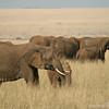 African elephant herd (Loxodonta africana), Masai Mara Game Reserve, Kenya