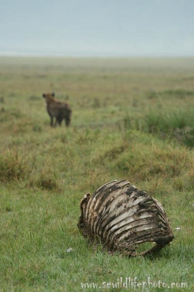 Spotted hyena (Crocuta crocuta) walking away from Cape buffalo (Syncerus caffer) carcass, Lake Nakuru National Park, Kenya