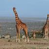 Reticulated giraffe (Giraffa camelopardalis reticulata) and plains zebra (Equus quagga), Mpala Research Center, Kenya