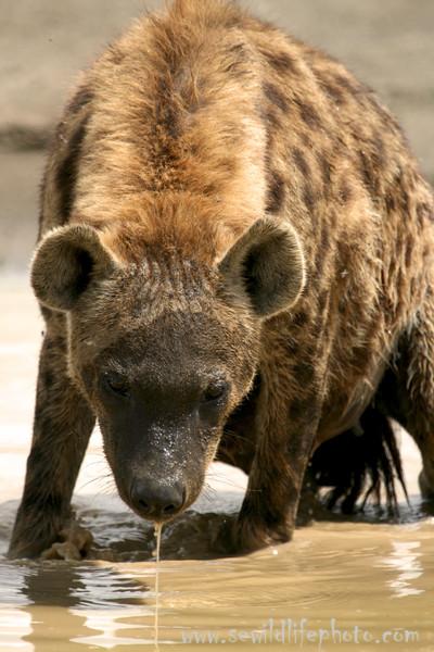 Spotted hyena (Crocuta crocuta), Lake Nakuru National Park, Kenya