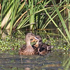 Mallards of three sizes were grazing in the duck weed.  Note another dragonfly right over their heads.