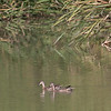 After I stood quietly for a while, two Blue-winged Teal emerged from the cattails and swam around.