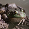 Bullfrog sitting on a log.  Note the mosquito on his left arm!  Pretty nervy of the bug!