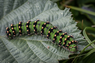 Emporer Moth Caterpillar