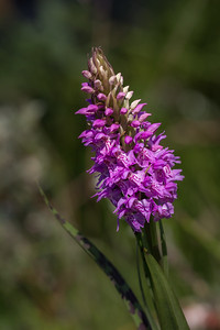 Northern Marsh Orchid ?