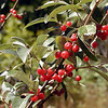 Closeup of Autumn Olive with its silvery green leaves and red berries. Birds and wildlife love it for food. It may be a non native invasive species, but it is still pretty and beneficial.  <br /> Elaeagnus umbellata<br /> Elaeagnaceae<br /> Alarka, NC 9-25-08