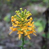 Yellow Fringed Orchid<br /> Platanthera ciliaris