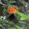Lilium michauxii with pipevine swallowtail butterfly.