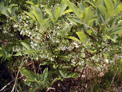 Blueberry bush in bloom<br /> Alarka NC