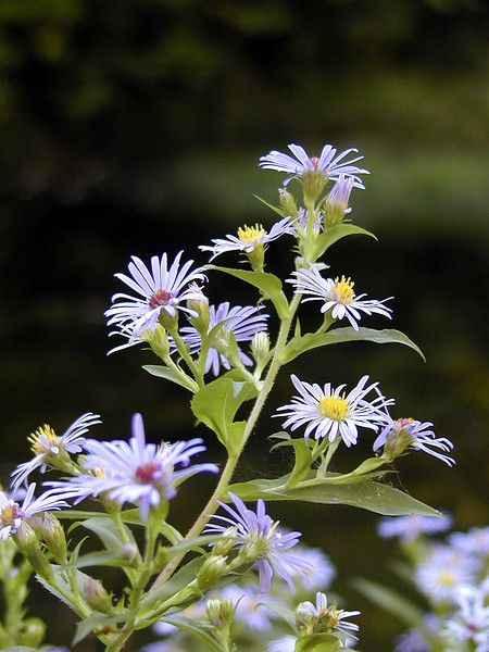 Smooth Blue Aster growing by the bog pond.<br /> Symphyotrichum laeve<br /> Asteraceae<br /> Nantahala NF, NC 9/25/08