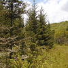 Red spruce Trees and cinnamon ferns<br /> Alarka NC<br /> 6/5/07