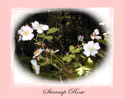Swamp Rose -this was the sweetest, best smelling rose I've ever smelled!<br /> Swamp rose prefers moist, acidic habitats. It prefers bogs, wet conifer swamps, and the edges of ponds and lakes. The conditions at the red spruce bog were perfect for finding this!<br /> Rosa palustris <br /> Rosaceae<br /> Alarka, NC 6/5/07