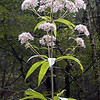 Hollow-stemmed Joe Pye Weed towers pale pink over the deep green forest along Connely's Creek Road. <br /> Eupatorium purpureum<br /> Asteraceae<br /> Nantahala National Forest, NC 8/28/07