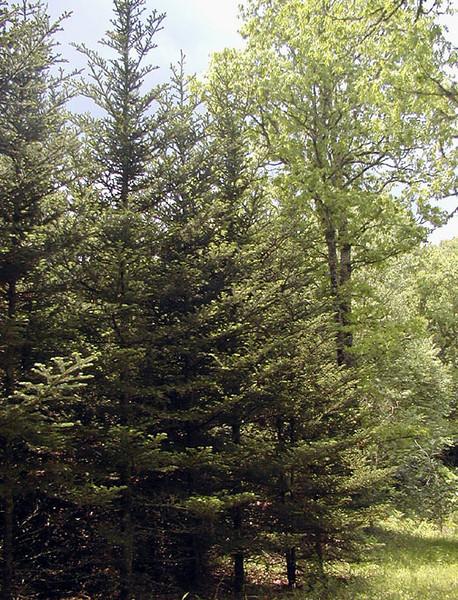 Red spruce Forest<br /> Alarka NC<br /> 6/5/07