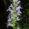 Great Blue Lobelia blooms along Connely's Creek Road on the way up to Alarka Laurel.  It prefers moist conditions and favors roadside ditches.  It is one of my favorite Summer flowers. <br /> Lobelia siphilitica (yes, Rich, that REALLY is its name) <br /> Campanulaceae<br /> Nantahala National Forest, NC 8/28/07