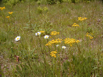 Meadow flowers at Alarka included <br /> Oxeye daisy, yellow ragwort and white yarrow.<br /> A.L., NC<br /> June 5, 2007