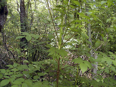 Devil's Walkingstick Shrub was used to relieve toothache <br /> Aralia spinosa<br /> Araliacea<br /> Alarka, NC<br /> June 5, 2007