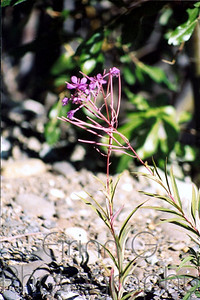 2 Fireweed