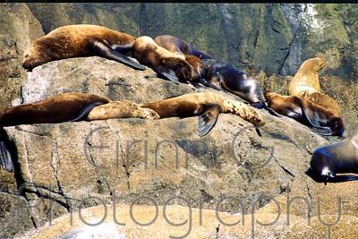Sea Lions - Kenai fjords