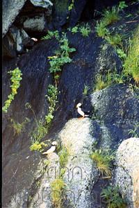 Puffins - Kenai fjords