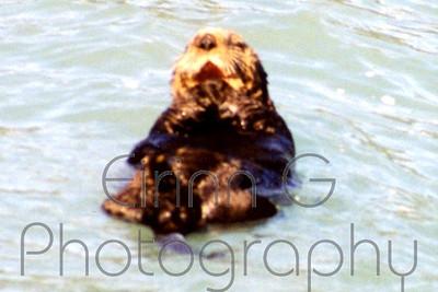 Otter - Kenai Fjords