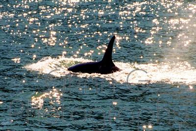 Orca - Kenai Fjords