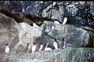 Alaskan Penguins - sort of...