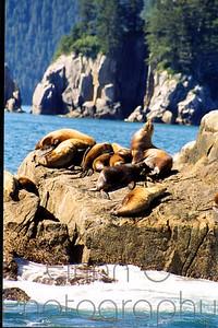 Sea lions Kenai Fjords
