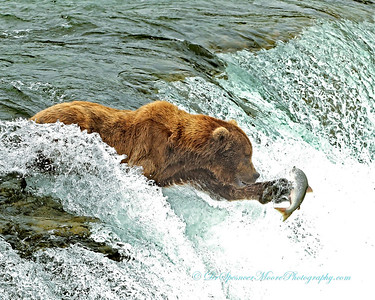 This old boy was the dominant bear at Brooks Falls, Alaska. Two times a salmon jumped and didn't come close enough for him to catch it in his mouth so his natural reflexes caused him to react and take a swipe at the fish. Both times he sent the fish flying thru the air but he didn't catch it as a result of the hit.  I'm sure some other bear down stream reaped the rewards of his efforts and found a wounded salmon struggling along the river.