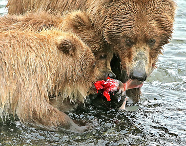 Mom went to the top of the falls to make a catch and when she brought the salmon to the shallows the two larger cubs rushed over to share in the bounty. She didn't relinquish the catch immediately but did finally let them take it away and finish the meal.