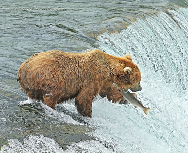 This was an unusual catch. the bear caught the fish with it's left paw as it jumped the falls, then brought the salmon up to her mouth where she secured the catch and ate the meal.