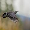 Ptarmigan In Flight